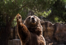 A bear raising its paw up high in anticipation.